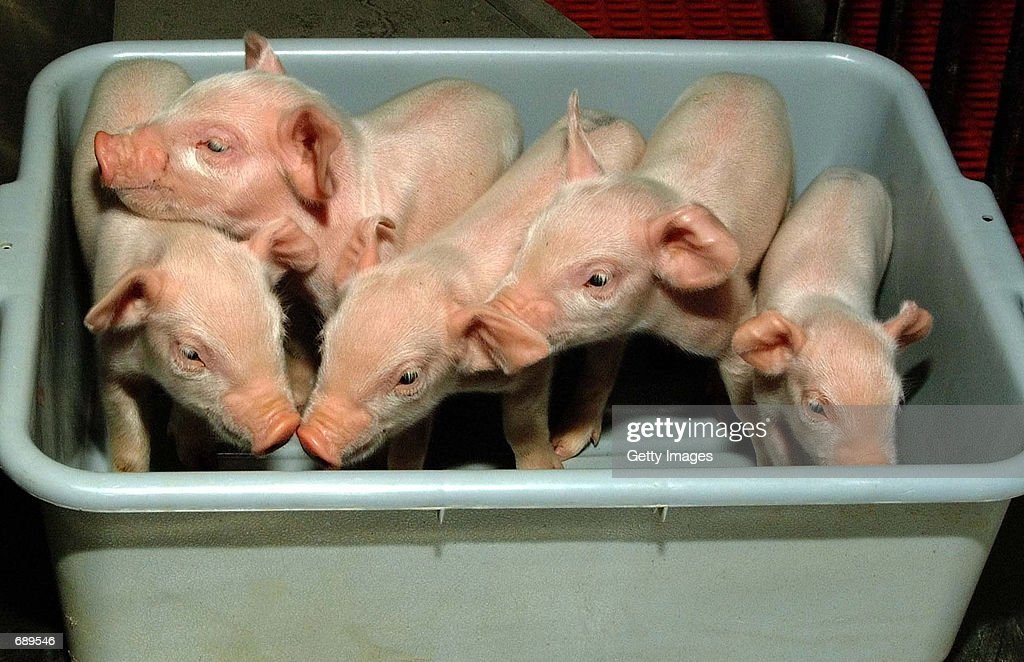 Cloned Piglets To Be Used For Organs in Human Transpalnts : News Photo