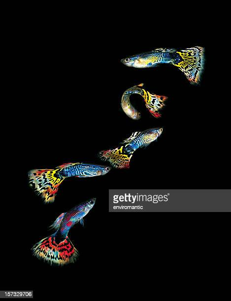 Five colourful Guppies.