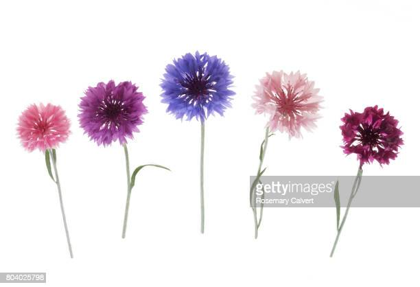Five different coloured cornflowers in a row on white.