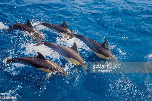 Five dolphins re-entering water together