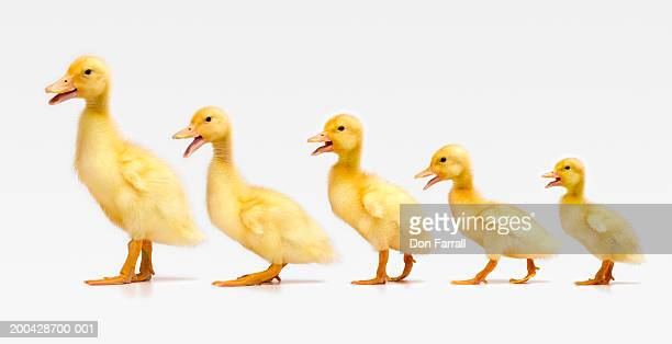 Five ducklings in row, side view (Digital Composite)