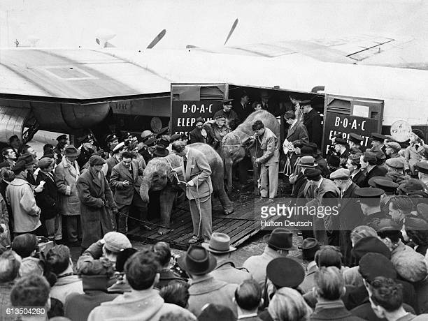Five female elephants are unloaded from a British Overseas Airways Corporation flight from Bangkok upon its arrival at London Airport England 1952