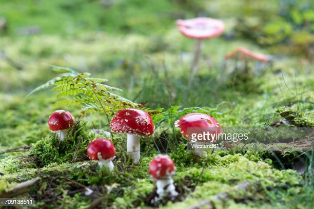 five fly agarics - poisonous mushroom stock photos and pictures