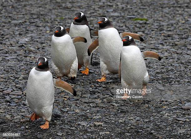 Five gentoo penguins on the move.
