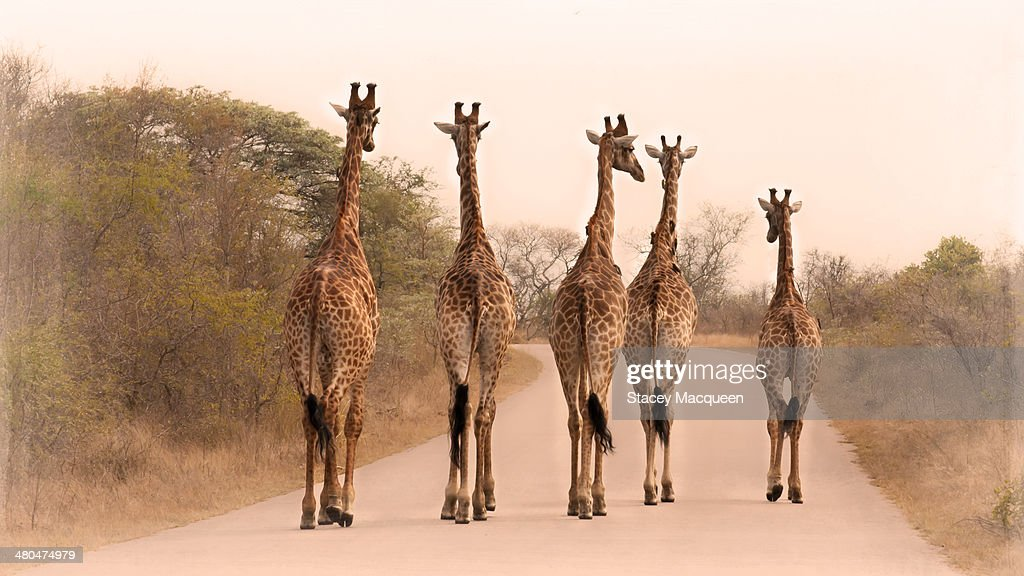 five giraffes on the road : Stock Photo