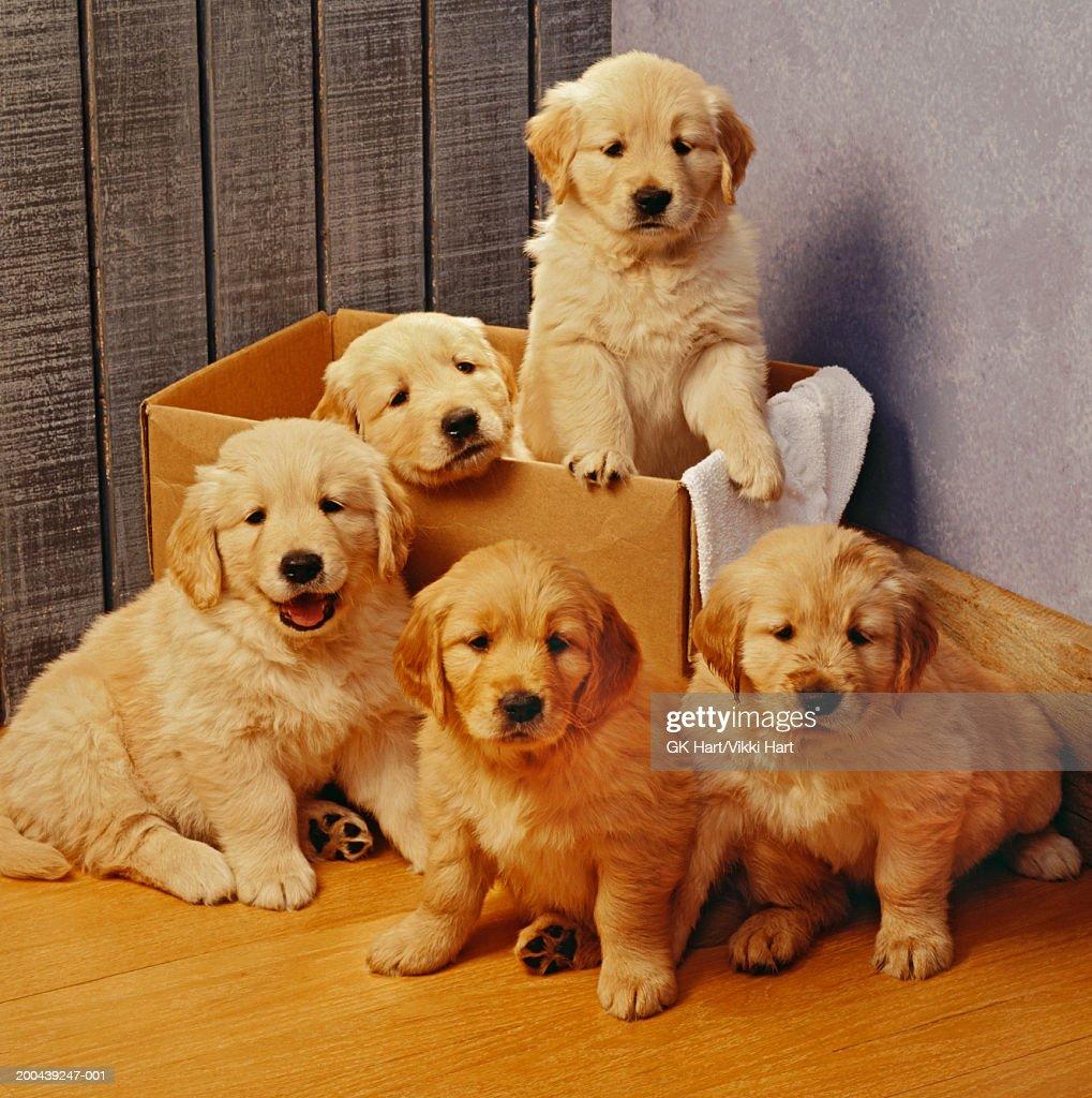 five golden retriever puppies two in cardboard box ストックフォト