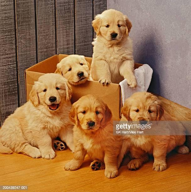 five golden retriever puppies, two in cardboard box - grupo mediano de animales fotografías e imágenes de stock