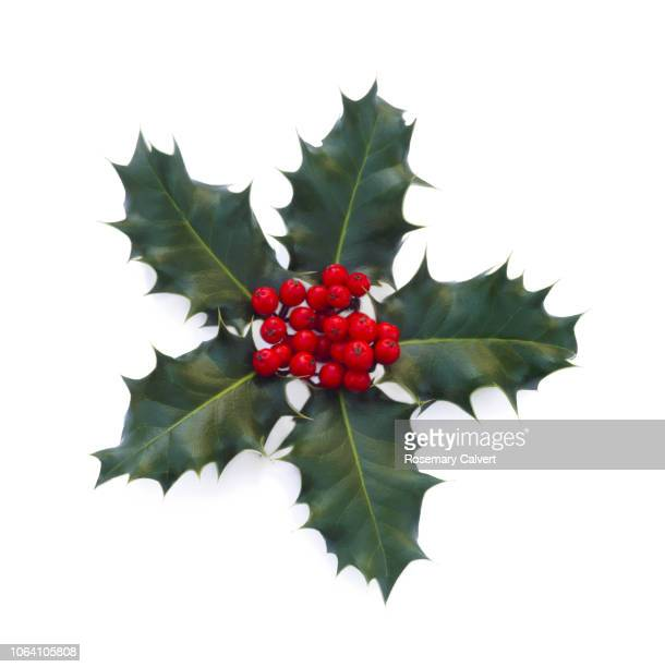 five holly leaves & red holly berries, on white. - christmas decoration stock pictures, royalty-free photos & images