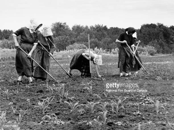 Five Hutterite women wearing their traditional garments with headdress and shawl are working in a field on their Hutterite colony in Northeast...