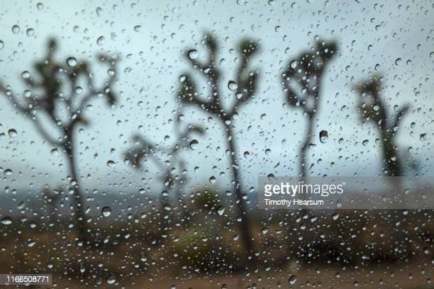five joshua trees as seen through a rain splattered windshield - timothy hearsum stock photos and pictures