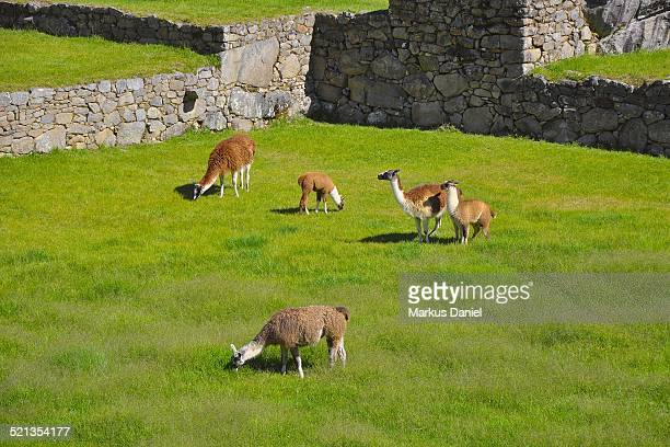 Five lamas on main square in Machu Picchu