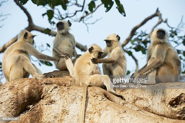 Five langurs sitting in a tree