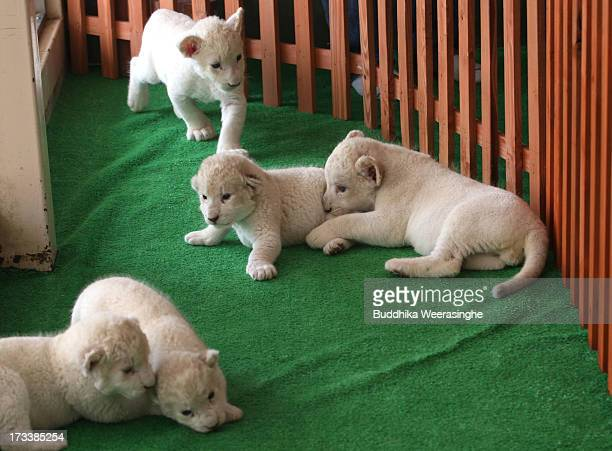 Five lioness cubs play during their first public viewing at Himeji Central Park on July 13 2013 in Himeji Japan The seven white lioness cubs given...