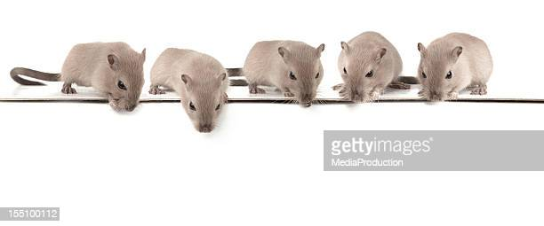 five mice looking down - pest stock photos and pictures