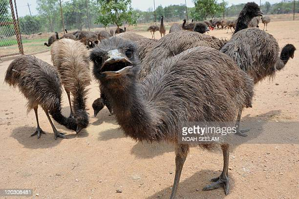 A five month old Emu looks at the camera on a farm on the outskirts of Hyderabad on July 1 2011 Emus are farmed primarily for their meat leather and...