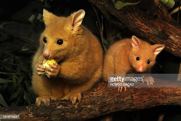 Five months of old male baby golden brushtail possum named Cooper sits near his mother named Cascade at the Wild Life zoo in Sydney's central...