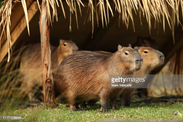 Five new capybaras are seen exploring the new exhibit at Taronga Zoo on September 26, 2019 in Sydney, Australia. The capybara is native to South...