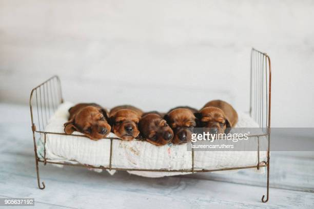 five newborn miniature dachshund puppies sleeping on a dog bed - cinq animaux photos et images de collection