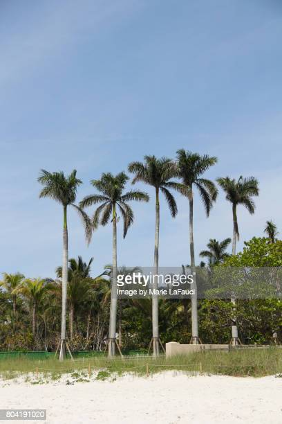 five palm trees planted in a row - fauci stock pictures, royalty-free photos & images