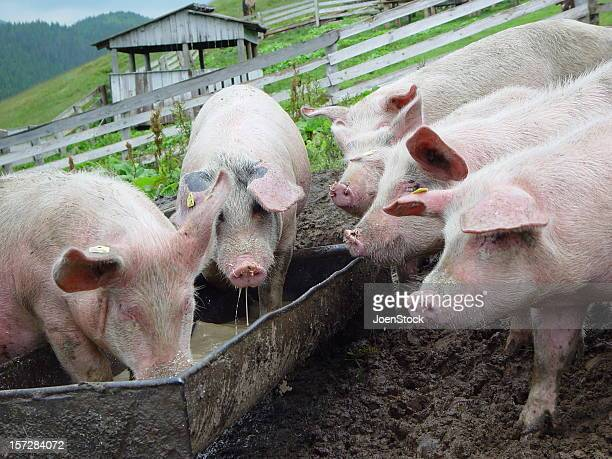 Five Pigs Eating in Romania Pigsty Pigpen