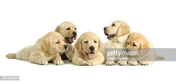five puppies on white - puppies - fotografias e filmes do acervo