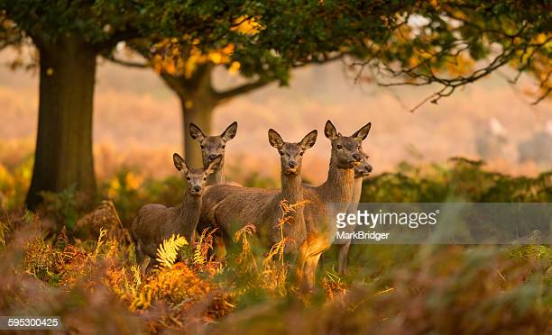five red deer hinds - deer stock pictures, royalty-free photos & images
