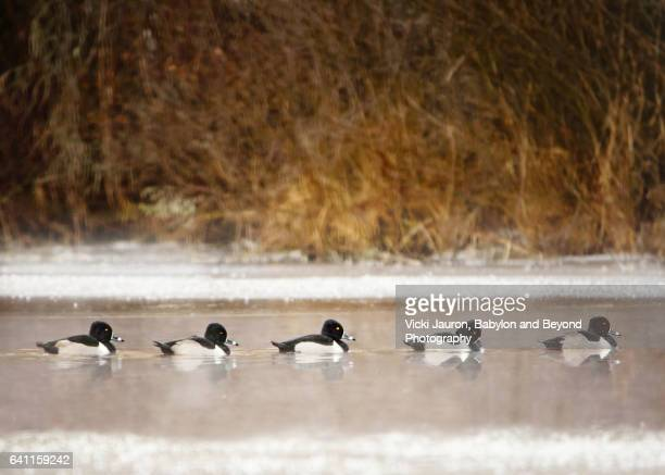 Five Ringed Neck Ducks (Aythya collaris) in Sayville, Long Island