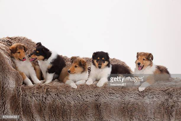 Five rough Collie puppies sitting and lyingon a couch in front of white background