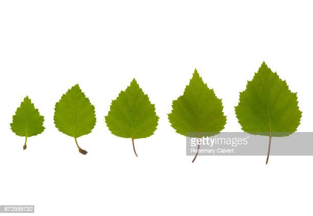 Five Silver Birch leaves places in order of size, on white.