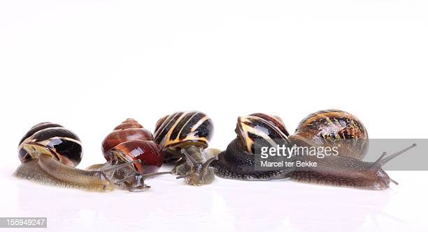 five snails on white - garden snail stock photos and pictures