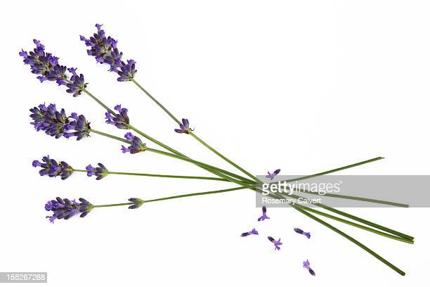 Five stems of lavender (Lavandula augustifolia)