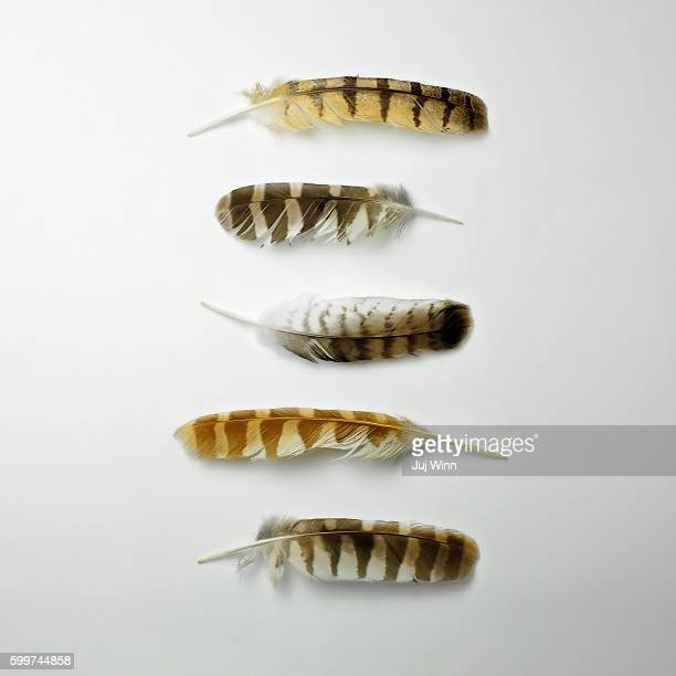 five striped feathers - feather stock pictures, royalty-free photos & images