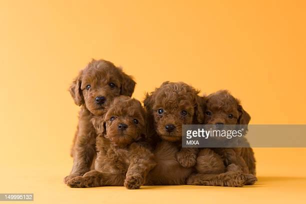 five toy poodle puppies - caniche toy photos et images de collection