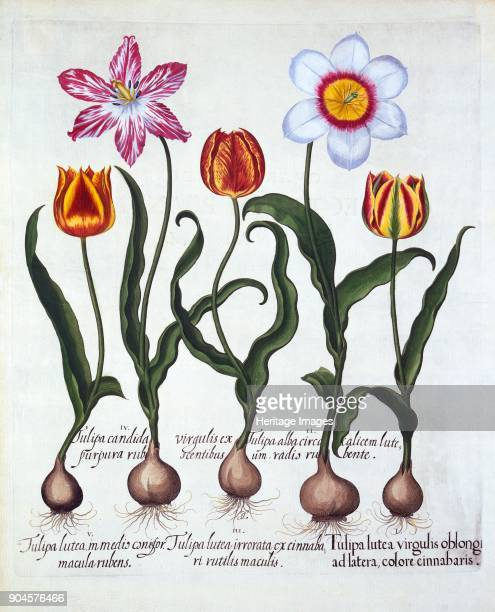 Five Tulips from 'Hortus Eystettensis' by Basil Besler pub 1613 handcoloured engra I Tulipa lutea virgulis oblongi ad latera colore cinnabaris II...