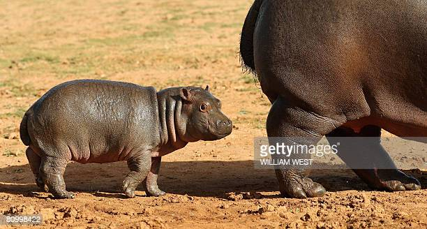 Five week old hippopotamus calf nicknamed 'Muddy' follows her mother Primrose in her enclosure where she has trebled her weight to 60kgs since her...