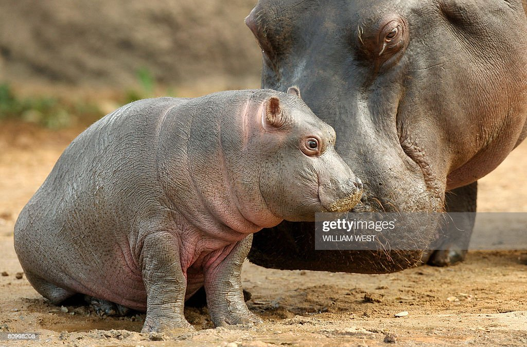 Five week old hippopotamus calf nicknamed 'Muddy' (L) is watched carefully by her mother Primrose (R) at her enclosure where she has trebled her weight to 60kgs since her birth at the Werribee Open Range Zoo, in Melbourne on May 6, 2008. The gestation period for the hippo is between 7.5 and 8 months, and the birth is the result of the introduction that Keepers arranged last winter between Primrose and Harry. Keepers have observed the calf suckling, and it appears to be strong and healthy. The Zoo plans a competition to name the young hippo. AFP PHOTO/William WEST