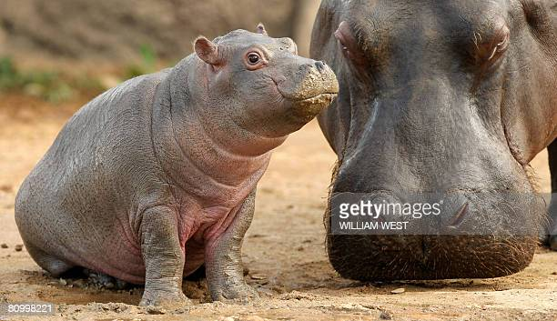 Five week old hippopotamus calf nicknamed 'Muddy' is watched carefully by her mother Primrose at her enclosure where she has trebled her weight to...