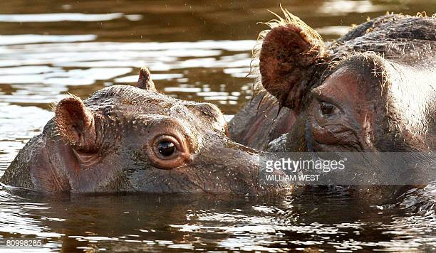 Five week old hippopotamus calf nicknamed 'Muddy' is watched carefully by her mother Primrose in her enclosure where she has trebled her weight to...