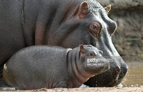 Five week old hippopotamus calf nicknamed 'Muddy' stands close to her mother Primrose in her enclosure where she has trebled her weight to 60kgs...