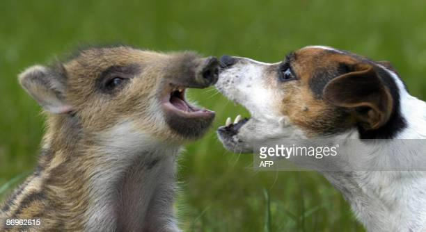 Five weeks old young boar Manni enjoys playing with Jack Russell terrier Candy on May 10 2009 in Ehringhausen western Germany Manni who was found...
