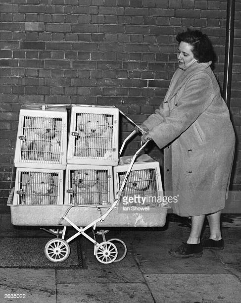 Five West Highland Terriers arriving at Crufts in their travelling kennels balanced in a pram