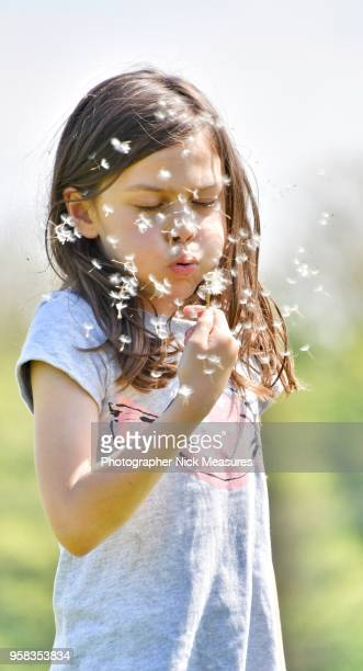 five year old girl blowing dandelion seeds. - シード ストックフォトと画像