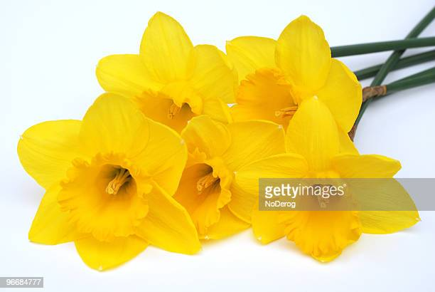 Five yellow daffodils laying on a white surface