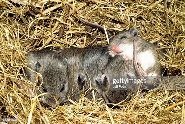 five young deer mice sleeping in nest, wyoming, usa - hjortmus bildbanksfoton och bilder
