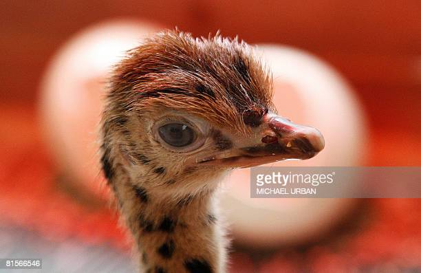 A fivedayold ostrich chick stands in its enclosure at an ostrich farm in Grossderschau near Berlin on June 14 2008 The ostrich is the largest living...