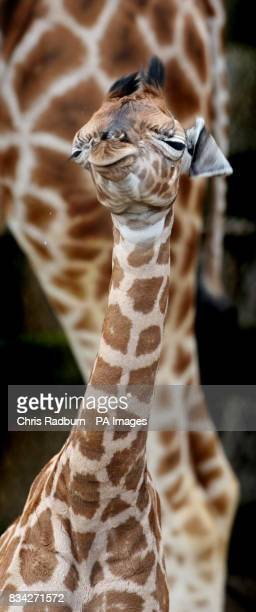 A fivedayold Rothschild giraffe calf is the latest arrival at Woburn Abbey Safari Park introduced for the first time to the public today