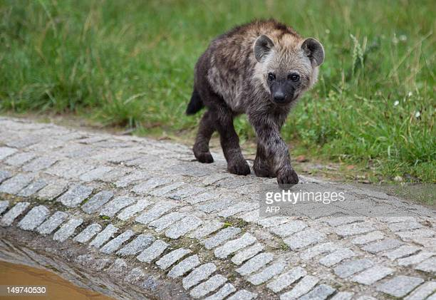 Fivemonthold spotted hyena Juma discovers the open air enclosure at the zoo BerlinFriedrichsfelde in Berlin Germany on August 03 2012 The Berlin zoo...