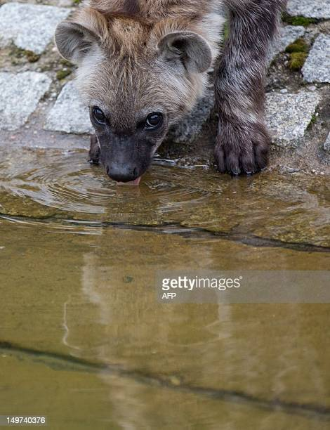 Fivemonthold spotted hyena Juma drinks water in her open air enclosure at the zoo BerlinFriedrichsfelde in Berlin Germany on August 03 2012 The...