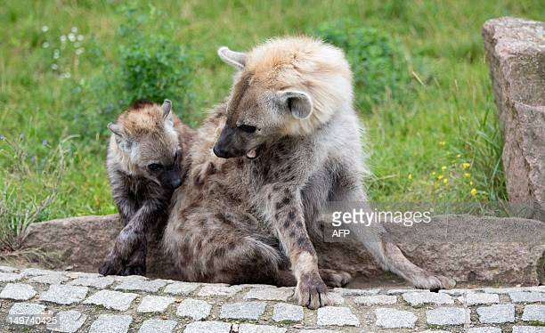 Fivemonthold spotted hyena Juma plays with mother Malindi in the open air enclosure at the zoo BerlinFriedrichsfelde in Berlin Germany on August 03...