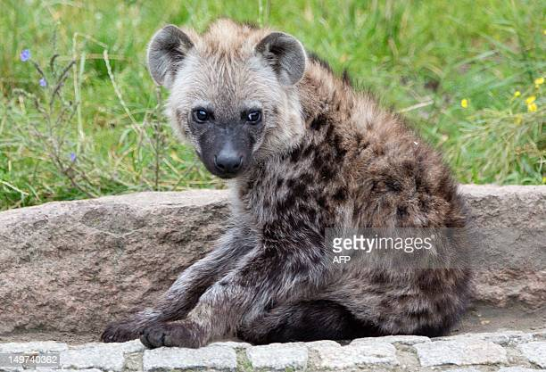 Fivemonthold spotted hyena Juma sits in her open air enclosure at the zoo BerlinFriedrichsfelde in Berlin Germany on August 03 2012 The Berlin zoo is...